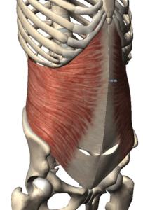 腹横筋の解剖