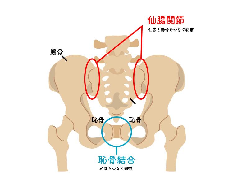 仙腸関節と恥骨結合